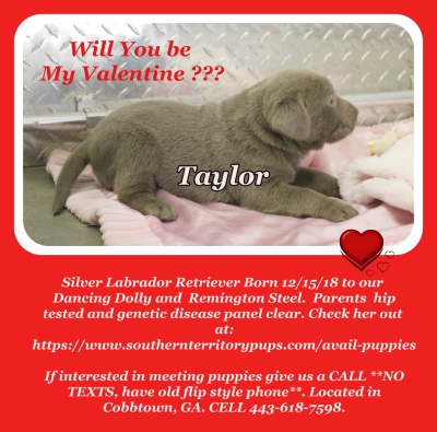 Silver Labrador Retriever Puppy Available